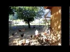 How to set up a 4' x 8' chicken coop to raise 50+ chickens.
