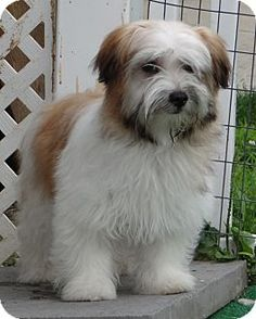 Facts about LEXI Breed: Havanese Mix Color: Tricolor (Tan/Brown & Black & White) Age: Puppy Size: Small 25 lbs (11 kg) or less Sex: Female Rescue Group: Robinson Hollow Rescue E-mail: owner@rhrescue.com Website: http://www.rhrescue.com Address: Wheeling, WV 26003
