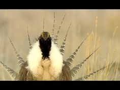 The Fight over the Sage Grouse Is Uniting Unlikely Allies | New Republic
