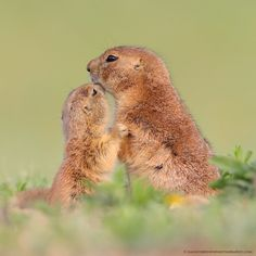 A tender moment between a black-tailed prairie dog baby and its mother. Shot in the Wichita Mountains of southwest Oklahoma. - Photo by Danny Brown A Moment To Remember, In This Moment, Danny Brown, Wichita Mountains, Prairie Dogs, Dog Baby, Wild Nature, Unique Animals, Oklahoma