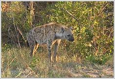 Spotted Hyena @ Sunrise LIVE drive with Pieter and Bryan  05/04/2015 #SafariLive  http://www.wildsafarilive.com