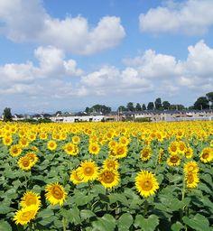 2015 16-30 August in Tokyo Kiyose City sunflower festival 「清瀬ひまわりフェスティバル」