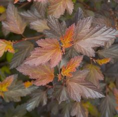 Physocarpus 'Coppertina';