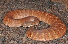 Rough-scaled Death Adder (Acanthophis rugosus)