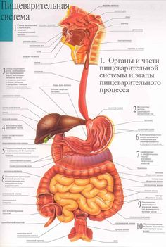 Brain Anatomy, Human Body Anatomy, Human Anatomy And Physiology, Medical Anatomy, Anatomy Art, Back To School Organization Highschool, Human Digestive System, Anatomy Images, Medical Science
