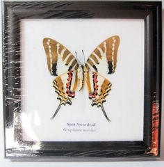 spot swordtail real butterfly in framed wood display mount insect taxidermy 5x5