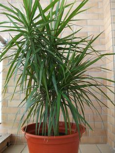 Evin havasını temizleyen bitkiler - Canım Anne Dracena Marginata, Madagascar, Wall Design, Tropical, Garden, Flowers, Plants, Studio, Dracaena Plant