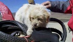 Heartwarming news .. Little dog adopted by Bicycling Team | View Thread | AdlandPro Community