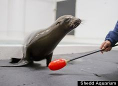 Sea Lion Pup blinded by gunshot wound finds a home at Shedd Aquarium: