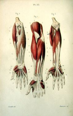 1852 Antique anatomy print  muscles anterior by LyraNebulaPrints, $26.95