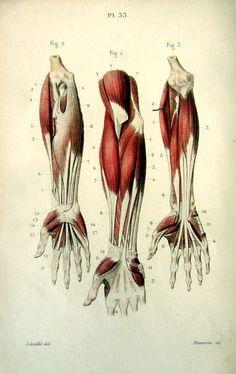 1852 Antique anatomy print  muscles anterior by LyraNebulaPrints, $26.95