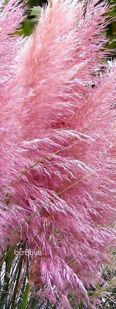 Pampas Grass Pink Tall Feathery Blooms