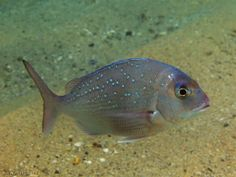 Snapper fish : found mostly in New Zealand,Blinks as a twinkle star.