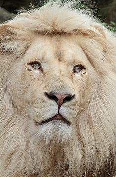 Close Close-Up of a Sandy Colored African Male Lion.
