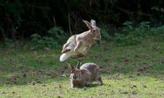 If Bunnies do this, is it still called 'LeapFrog'?