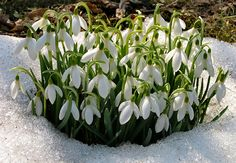 Snow is no match for these cold-hardy flowers Winter Plants, Winter Garden, Flower Beds, Flower Art, Snow Drops Flowers, Flower Garden Images, Bulb Flowers, Companion Planting, Lawn And Garden