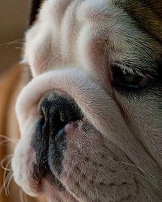Sad bulldog just broke up with his girlfriend...