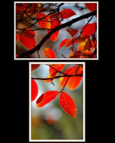 Set of 2 Red Leaves photography orange and red by LensEtBrush