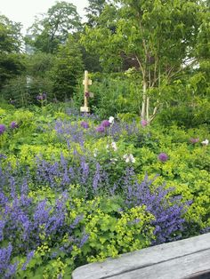 Great combination, nepeta, alchemilla mollies and allium!