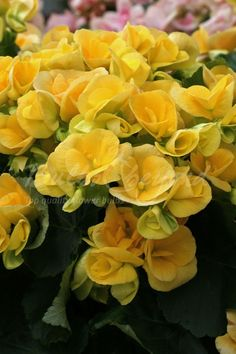 Begonia Double-flowered yellow Summer Flowering Bulbs, Vivid Colors, Colours, Begonia, Hanging Baskets, Pretty Flowers, Color Mixing, Sunshine, Yellow
