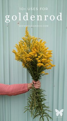"""It's mid-September and there is goldenrod everywhere, so I thought a post on goldenrod uses might be helpful! Besides, it's so wonderfully cheery and bright that it's fairly easy to identify. Its Latin name, Solidago canadensis, stems from the root """"to make whole"""". So how neat is that? Spoiler alert: goldenrod is super excellent for issues with your bladder or urinary tract, sooo be aware that there is a lot of reference to pee. Sorry, not sorry?"""