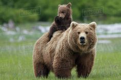 1000 Piece Jigsaw Puzzle (other products available) - Grizzly bear (Ursus arctos horribilis) female with cub riding on back, Katmai National Park, Alaska, USA, August. - Image supplied by Nature Picture Library - 1000 Piece Jigsaw Puzzle made in Australia Grizzly Bear Animal, Grizzly Bears, Baby Animals, Cute Animals, Wild Animals, Baby Pandas, Animal Babies, Katmai National Park, Bear Cubs