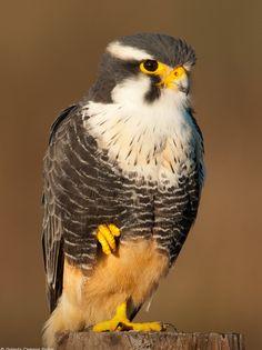 aplomado falcon    (photo by octavio campos salles)