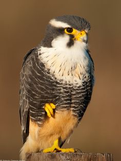 aplomado falcon    (photo by octavio campos salles)