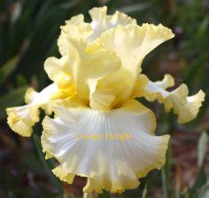 TB Iris germanica 'Grace Whittemore' (Richardson, 1997)