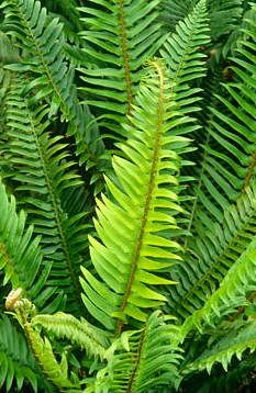 Polystichum hold AGM - All For Garden Dry Shade Plants, Cool Plants, Ferns Garden, Shade Garden, Tropical Garden, Tropical Plants, Reseeding Lawn, Evergreen Ferns, Deer Resistant Garden