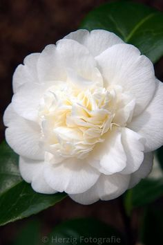 "Photo Camellia japonica ""Noblissima"" Kamelie by Tina & Horst Herzig Photography"