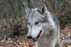 Wolf Pictures, Tamaskan, Husky, Dogs, Animals, Animales, Nature, Animaux, Pet Dogs