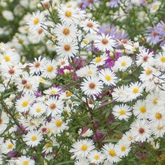 Aster+novae+angliae+Herbstschnee+-+Aster+grand+d'automne