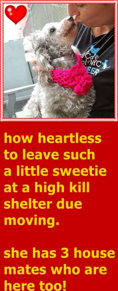 SAFE 7-20-2015 --- SUPER URGENT Manhattan Center LADY GIGI – A1043798  FEMALE, SILVER / BROWN, POODLE TOY MIX, 9 yrs OWNER SUR – ONHOLDHERE, HOLD FOR ID Reason MOVE2PRIVA Intake condition EXAM REQ Intake Date 07/13/2015 http://nycdogs.urgentpodr.org/lady-gigi-a1043798/