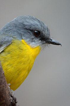 Eastern Yellow Robin: Portrait