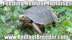 I have seen numerous suggestions for Russian tortoise diet Some great Some awful. Russian Tortoises are nibblers and appreciate broad leaf plants. Tortoise Food, Sulcata Tortoise, Tortoise Care, Tortoise Turtle, Tortoise House, Red Footed Tortoise, Tortoise Enclosure, Russian Tortoise, Tortoises
