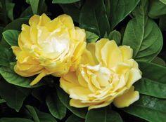 Gardenia jasminoides 'Golden Magic' | Star® Roses and Plants | #PlantAStar
