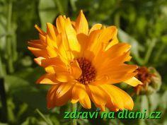 Měsíček zahradní | Zdraví na dlani