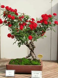 Rose bonsai - Bonsai de roser