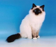 Birman Cat. This was my cat who the vet office murdered by a misdiagnose and abuse. She died at 8, a sad ending for a truly gently loving soul.