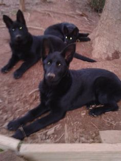 Dirty noses - Blackshadow Mtn GSD