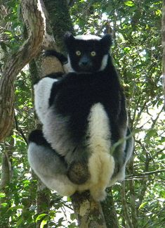 """cool-critters: """" Indri (Indri indri) The indri is one of the largest living lemurs. It is a diurnal tree-dweller related to the sifakas and, like all lemuroids, it is native to Madagascar. The indri. Primates, Mammals, Especie Animal, Animal Facts, Prehistoric Animals, Extinct Animals, Endangered Species, Panda Bear, Belle Photo"""