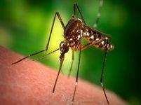 В большинстве регионов России комары начинают проявлять активность уже в мае и не унимаются до поздней осени. Похолодание им только на руку, так как благоприятно влияет на продолжительность жизни самок.