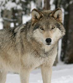 Colorado Wolf and Wildlife Center - Colorado Springs