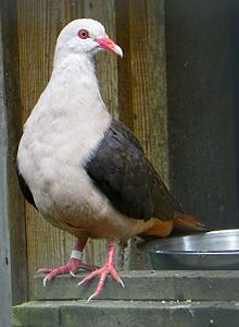The pink pigeon (Columba mayeri) is a species of Columbidae (doves and pigeons) endemic to Mauritius, and is now very rare. It is the only Mascarene pigeon that has not gone extinct. Pink Pigeon, Dove Pigeon, Weird Birds, Rare Birds, Beautiful Birds, Animals Beautiful, Types Of Pigeons, Racing Pigeons, Crows Ravens