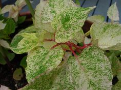 fallopica japonica varigated image | Fallopia japonica 'Variegata' | Japanese knotwood - invasive Garden Inspiration, Plant Leaves, Home And Garden, Gardens, Outdoors, Japanese, Canning, Future, Flowers