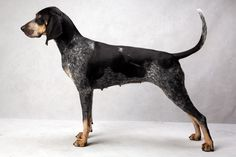 Conrad, a New York Times photographer, set up a studio at the Westminster Kennel Club dog show this week and invited Best of Breed winners to pose. Blue Tick Beagle, Westminster Dog Show, Bluetick Coonhound, Blue Dog, Hound Dog, Hunting Dogs, Dog Portraits, Mans Best Friend, Dogs And Puppies