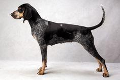 Bluetick Coonhound-