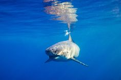 The Great White, Great White Shark, Shark Diving, Scuba Diving, Major Oceans, Apex Predator, Top Place, Shark Week, Marine Life