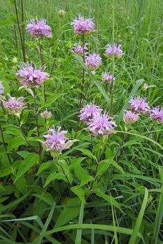 Wild bergamot belongs to the mint family and has pleasantly scented foliage; the scent helps deter browsing by herbivores, including deer and rabbits.